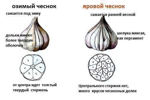 Отличия между видами чеснока