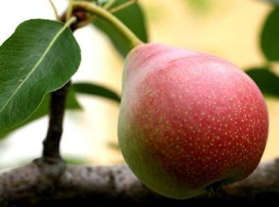 Плод сорта Краснобокая