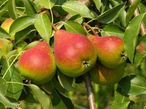 Плоды Краснобокой