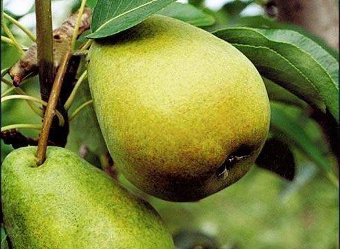 Плоды Сказочной очень вкусные