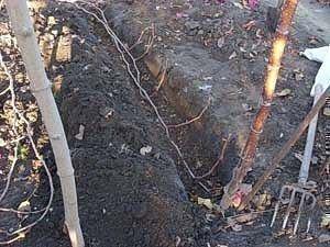 Прикопка винограда на получение 5 саженцев