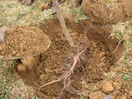 Присыпка корней