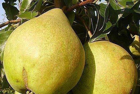 Плоды сорта Просто Мария