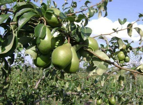 Созревающие плоды
