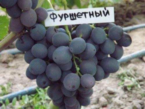 Виноград сорта Фуршетный
