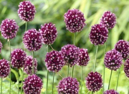 Рокамболь цветет