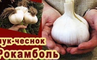 Рокамболь – между чесноком и луком