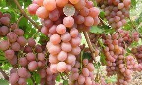 Рута - гибридный сорт винограда