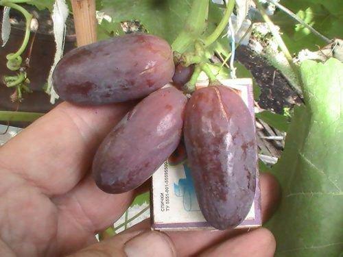 Размеры ягод Шахини