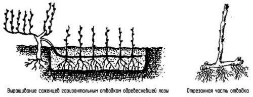 Схема размножения винограда
