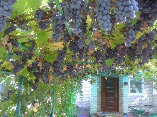 Сорт винограда Ливадийский