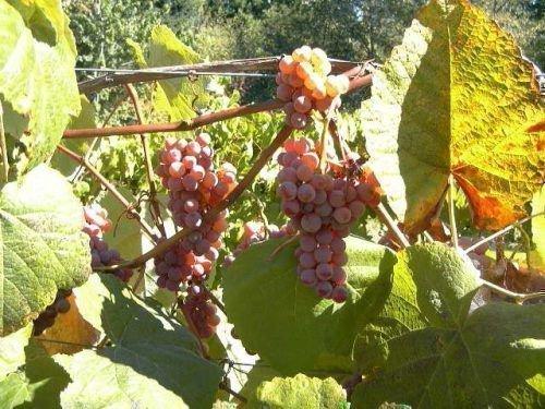 Созревший виноград Рута