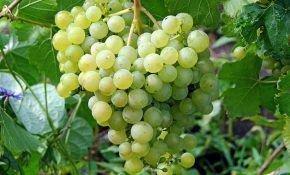 Химрод - сорт бессемянного винограда