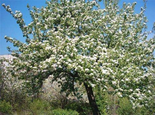 Дерево груши Велеса