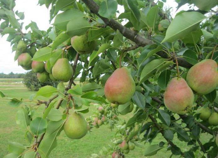 Плоды сорта Велеса
