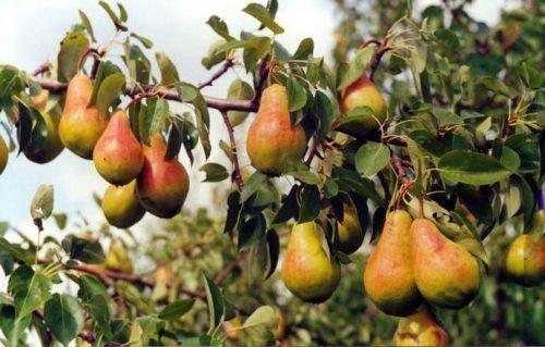 Спелые плоды Видной