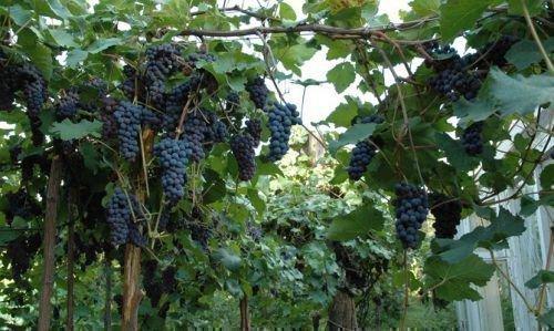 Урожайность винограда Амурский прорыв