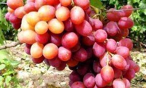 Виноград гибрид сорта Анюта