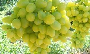 Сорта винограда с ранним сроком созревания плодов – обзор с описанием и фото