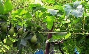 С чем можно в саду сажать виноград