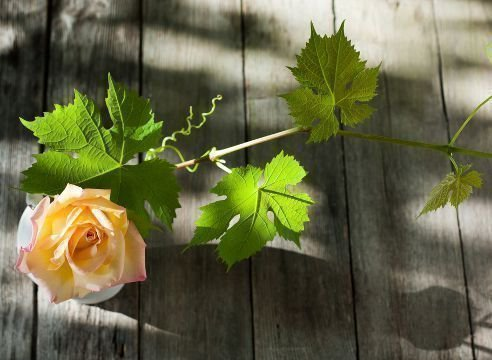 Виноград и роза