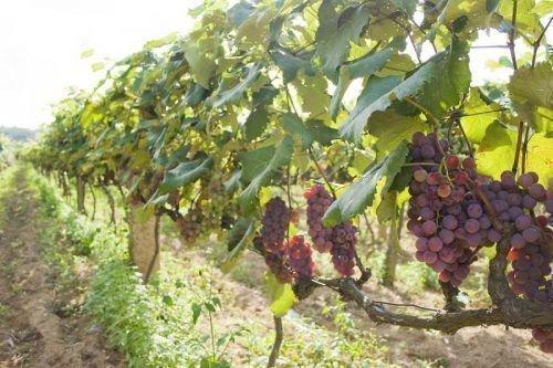 Сорняки защищают виноград