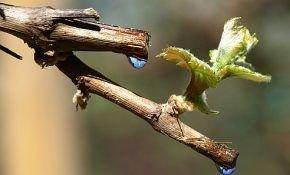 Что такое плачь винограда