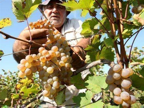 Виноград Астраханский скороспелый