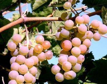 Виноград Восток-2