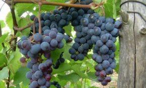 Размножение винограда отводками осенью