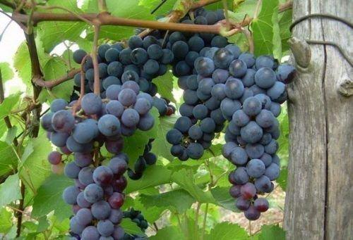 Виноградный сорт Зариф