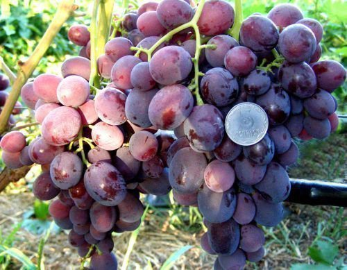Польза винограда Заря Несветая