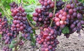 Виноград, любимый всеми — Заря Несветая