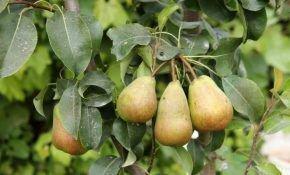 Какие витамины содержаться в груше?