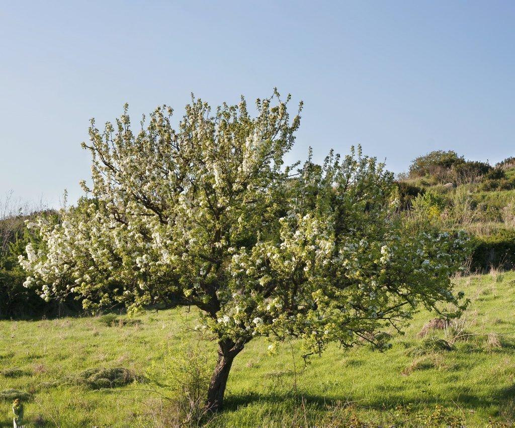 Взрослое дерево кюре