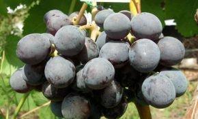 Зариф – черная жемчужина среди винограда