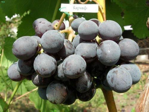 Виноград сорта Зариф