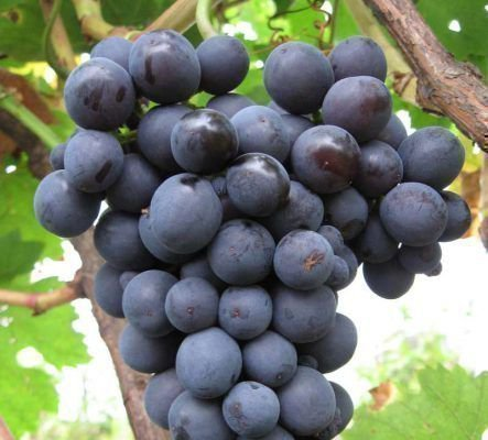 Преимущества винограда Зариф