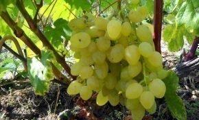 Зарница - это молодой и перспективный сорт винограда