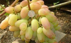 Жостен — это виноград, который можно назвать нектаром богов