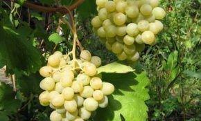 Виноградная лоза (Vitis) Фрумоаса Албэ