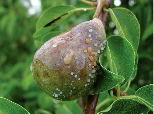 Бактериальный ожог на плоде