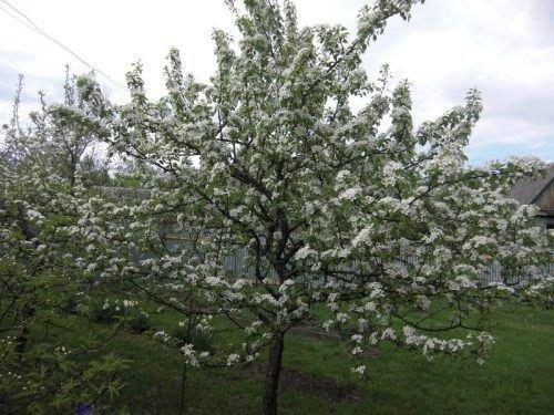Чижовская - дереву 10 лет