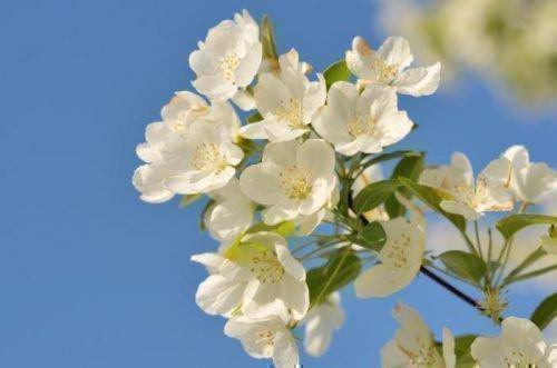 Цвет Чижовской