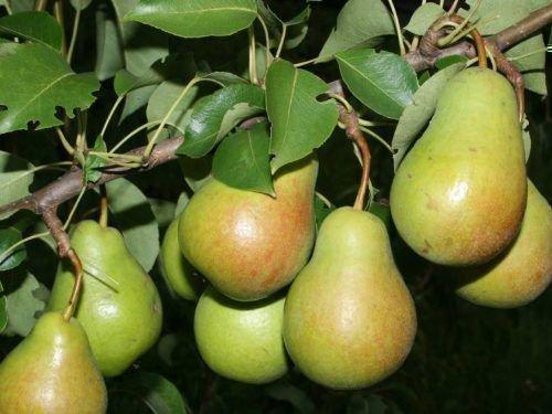 Побег Чижовской с плодами