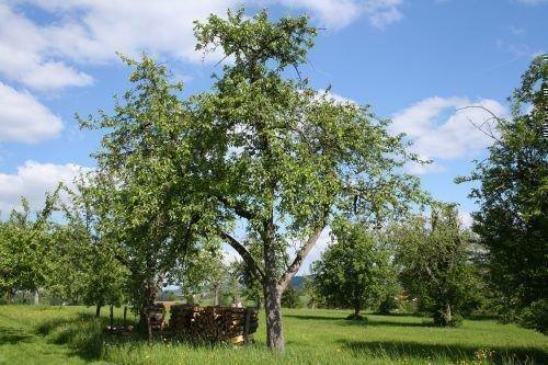 Дерево Рогнеды