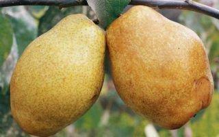 Дюшес – английская груша в вашем саду