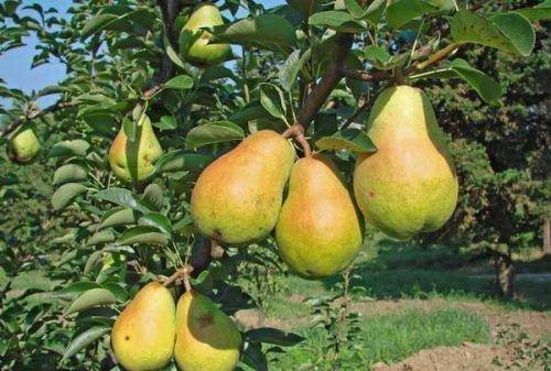 Созревание плодов Феерии