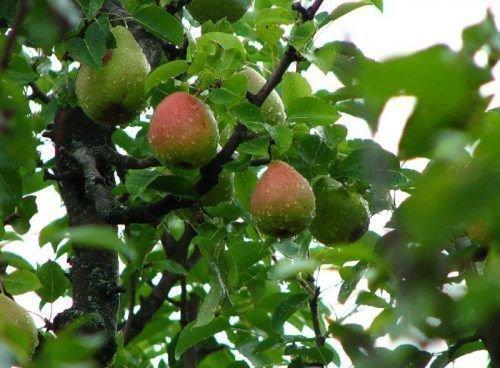 Груши Форель на дереве