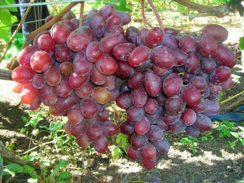 Виноград Монте Кристо